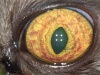 Офтальмологические проявления вируса инфекционного перитонита кошек/ Ophthalmic manifestations of feline infectious peritonitis