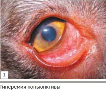 Конъюнктивиты у собак / Conjunctivitis in dogs