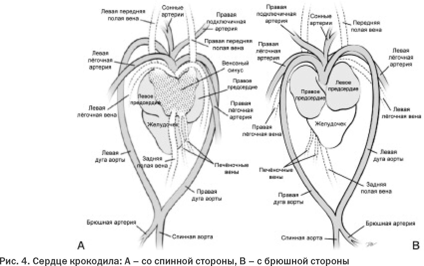 схема сердца рептилии