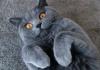 Британская короткошерстная кошка на голубом фоне - фото.