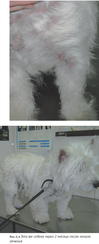 Дерматит у собак симптомы