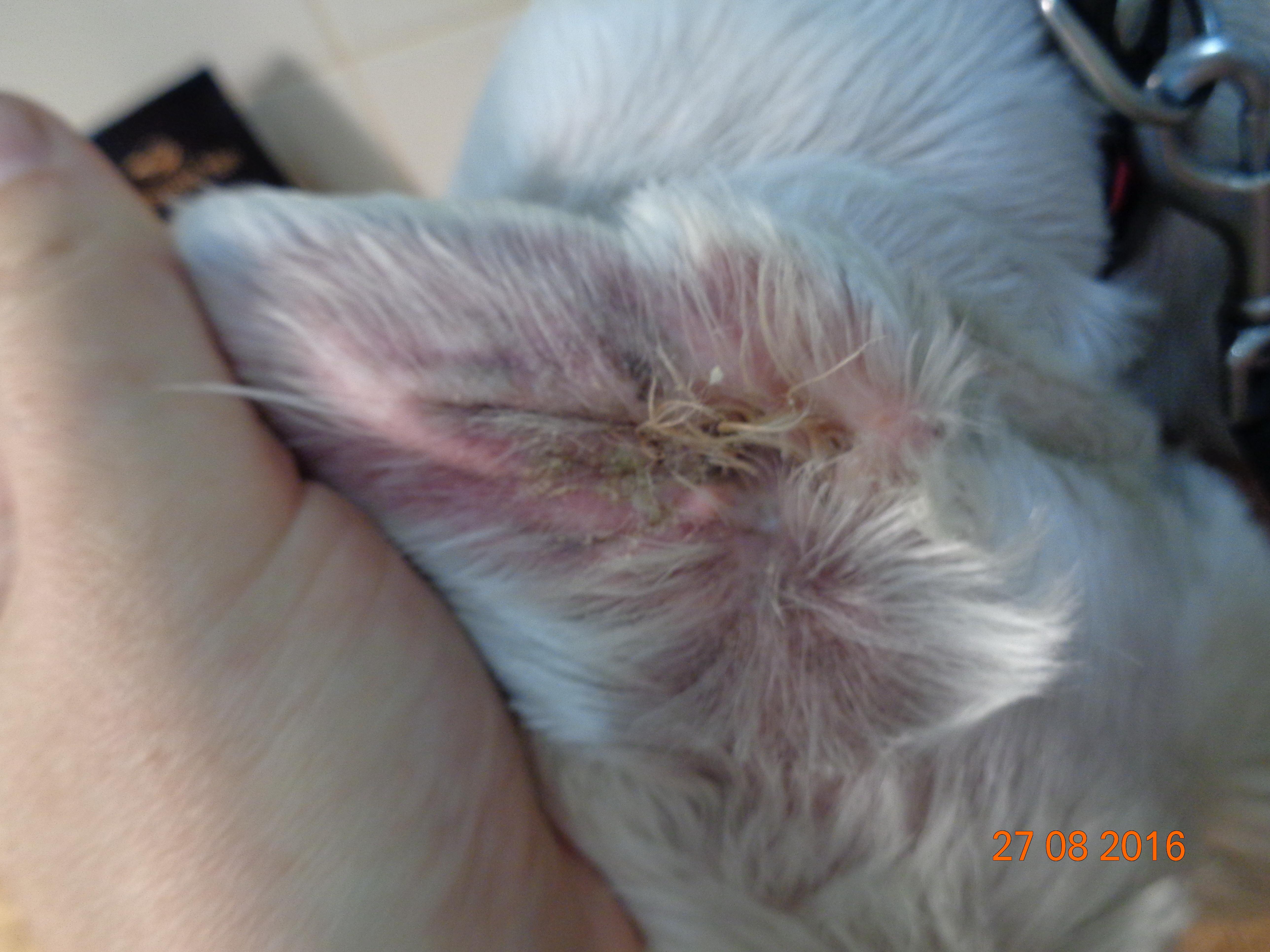 Фото 1b (ушная раковина) и 2b (вентральная поверхность хвоста). Та же собака на фоне использования Лекадерма – значительное снижение зуда, уменьшение лихенификации и шелушения
