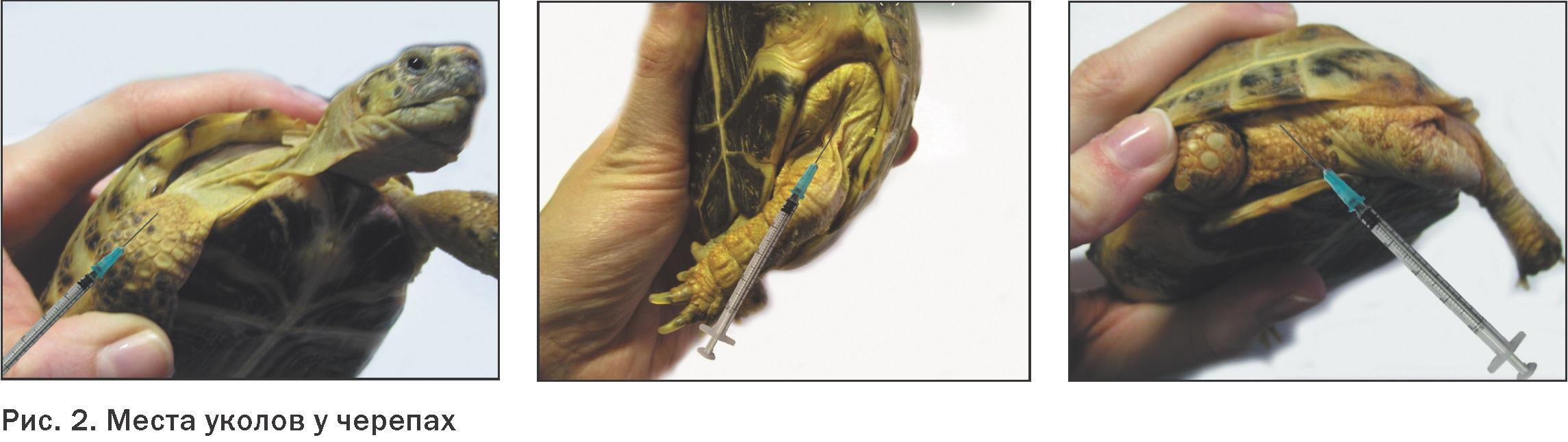 Как сделать укол черепахи